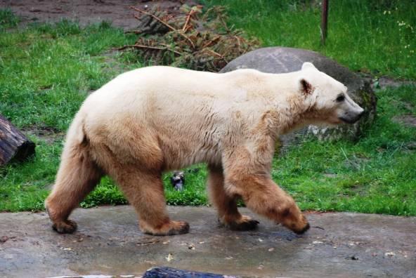 Uno de los grolar del zoológico de Osnabrück